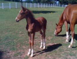 Falsterbo colt, Flash Gordon