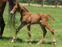 Adonis filly, 2011